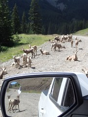 Sheep, Near and Far (Oldman Watershed) Tags: bighornsheep wildlife road ewe lamb willowcreek