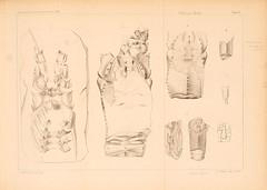 zeitschriftderd141862deut_0833 (kreidefossilien) Tags: schlter crustacea decapoda cenomanian cretaceous turonian santonian northrinewestphalia