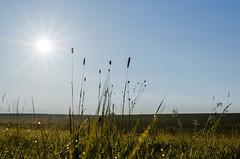 Grser - Grasses (Der Gnurz) Tags: grser wiese sonne grassland