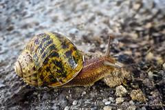Lumaca (michelebuc) Tags: lumaca chiocciola snail escargot caracol