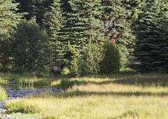 Elk 7 (nicoangleys) Tags: tetons grandtetonsnp nationalpark wyoming jacksonhole schwabacherslanding