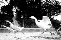 world in motion (Extinted DiPu) Tags: duck canon canon700d 24mm 1855 scout exploring explore flickr flickrriver bank riverside boral jamuna river bangladeshj landofriver blackandwhite monochrome inexplore sirajganj