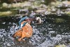 Kingfisher (Steve Nelmes Photography) Tags: abergavenny animal avian birds cameragear canon14xteleconverter canon1dxmark2 divingbird feathered fisheatingbird fishingbird hide kingfisher nature riverbird riverbirds riverusk rivers southwales stevenelmesphotography wales wildanimal wildbird wildlife