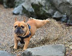 Kickin' It (art w.) Tags: frenchy frenchbulldog frenchies frenchbulldogs bulldogs bulldog beach nikon beanhollow beanhollowstatebeach