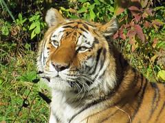 Amur Tiger (2) (bookworm1225) Tags: zoo october 2014 minnesotazoo northerntrail tropicstrail