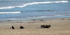 Sunning @ the Beach (zeesstof) Tags: california bird beach birds coast seaside gull fieldtrip crow vulture fieldexcursion zeesstof centalcaliforniacoast