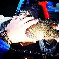 Fat Bronze! #jc1scastaway #smallmouth #feelfreelure #daiwa #zilliontws #kayakfishing #kayakbassleague