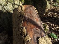 Wiggly marked log from beetle larvae (rjmiller1807) Tags: tree nature march countryside log beetle wiggly bark stump 2015 burrowing beetlelarvae