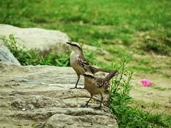 Bem-te-vi pirata? / Piratic flycatcher? (Márcio Vinícius Pinheiro) Tags: bird animal passarinho doubt dúvida