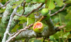 Figs (Sandy Austin) Tags: newzealand tree bird fig auckland northisland silvereye hernebay waxeye sandyaustin hernebaypetanqueclub panasoniclumixdmcfz40