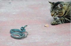 The first glance (concep1941) Tags: cats nature wildlife hunter mammals snakes challenge reptiles