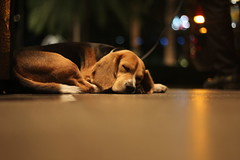 Guard (Ella Villaflor) Tags: dog beagle puppy guard