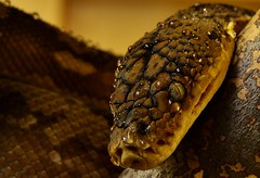 Wet Timor Python. (Python timorensis) _DSC0136 (ikerekes81) Tags: wet water zoo washingtondc dc nikon reptile snake nationalzoo python nikond3200 dczoo waterdrips smithsoniannationalzoologicalpark d3200 washingtondczoo timorpython pythontimorensis