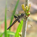 Common baskettail (Epitheca cynosura) - first of the year