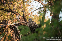 Owl Nesting In The Okavango Delta, Botswana