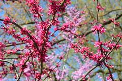 Blooming 3 (Krasivaya Liza) Tags: park flowers trees atlanta flower nature floral beauty ga georgia season spring atl blossoms southern budding blooming