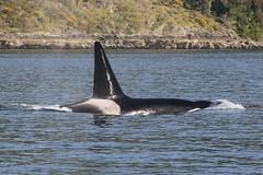 T102 (SanJuanOrcas) Tags: ocean sea wild wildlife killer whale orca cetacean