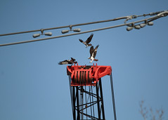 Osprey Battle (painguy007) Tags: bird minnesota mississippiriver osprey brooklynpark coonrapidsdamregionalpark