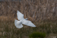 White Dove (NickJaramillo) Tags: nature birds canon newjersey dove wildlife 400mm columbidae whitedove 70d greatswampnwr