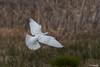 White Dove (NickJaramillo) Tags: nature birds canon newjersey dove wildlife 400mm columbidae whitedove 70d greatswampnwr