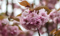 Pink cluster (Ollie_57.. Slowly catching up) Tags: uk england flower tree nature closeup canon spring flora bokeh devon 7d bloom sakura apr cheeryblossom 2015 shaldon hbw tamronsp90mm prunis hppt ollie57
