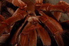 "Theraphosa stirmi closeup • <a style=""font-size:0.8em;"" href=""http://www.flickr.com/photos/77637771@N06/17230538939/"" target=""_blank"">View on Flickr</a>"