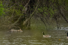 CoyoteHunting2 (jmishefske) Tags: coyote park lake nature water animal wisconsin swimming outside island franklin geese pond nikon hunting may center canadian milwaukee stalking wehr 2015 whitnall mallardlake halescorners d800e