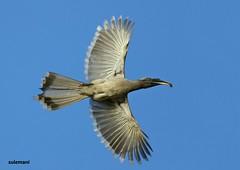 Grey Hornbill (TARIQ HAMEED SULEMANI) Tags: travel tourism nature birds trekking canon photography tariq concordians theperfectphotographer tariqhameedsulemani jahanian