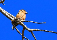 red crossbill at Carr Canyon AZ 854A9754 (lreis_naturalist) Tags: arizona carr reis canyon larry redcrossbill
