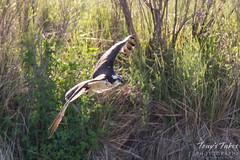 Female Osprey in flight