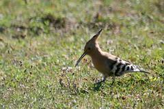 huppe fascie ( Upupa epops ) Erdeven 160707g2 (pap alain) Tags: france bretagne morbihan upupaepops oiseaux erdeven eurasianhoopoe huppefascie passereaux upupids