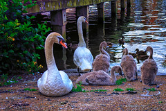 Swan Family (Jomak1) Tags: jomak1 london july 2016 kingston towpath thames river swan waterfowl cygnet turkspier
