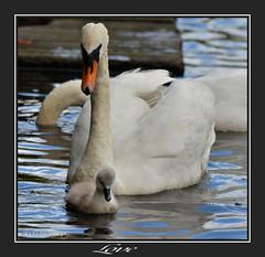 Love (Tadie88) Tags: nikkor200500 nikond7000 beddingtonparksurrey nature wildlife swan cygnet