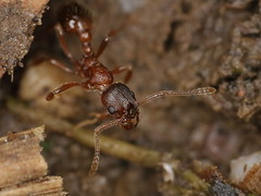 ant indet. (gbohne) Tags: geo:region=europe geo:country=germany canon flash arthropoda arthropods gliederfser taxonomy:phylum=arthropoda taxonomy:subphylum=hexapoda insects insekten insect insekt insecta taxonomy:class=insecta pterygota taxonomy:subclass=pterygota neoptera taxonomy:infraclass=neoptera hymenoptera hautflgler taxonomy:order=hymenoptera apocrita taxonomy:suborder=apocrita formicidae taxonomy:family=formicidae ameise ameisen ant ants animal tier makro macro