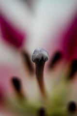 Alien (Neil B's) Tags: flower sternum macro alien falling slide nature