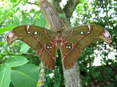 Attacus caesar (Male) (Lepsibu) Tags: saturniidae