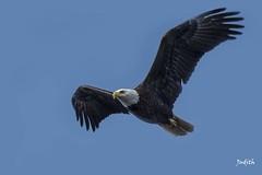 Pygargue  tte blanche - Bald Eagle (Judith Lessard) Tags: birds alaska eagle baldeagle oiseaux aigle pygarguetteblanche