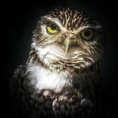 tickle me (10000 wishes) Tags: portrait cute nature pose bigeyes wildlife owl naturephotography burrowingowl wildlifephotography