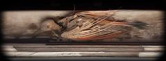 WINDOW ON DEATH (akahawkeyefan) Tags: wood bird dead peeling paint bones windowsill kingsburg davemeyer riverbendchurch