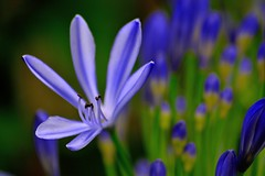 love flower (doods-on-and-off) Tags: africanlily agapanthus love flower lily blue purple green garden