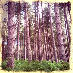 """""""Pine Barrens"""" (k8rry) Tags: trees branches pineneedles pines wakefield trunks ferns pinetrees undergrowth retrocamera hawparkwoods"""