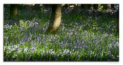 (Week 283) Bluebells: Hepburn Woods (Chris 251) Tags: northumberland unitedkingdom hepburn woods bluebells