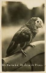 Cuban parrot, Isla de la Juventud, Cuba - Pre 1959 (lezumbalaberenjena) Tags: isla pinos pines juventud isle cuba vintage antiguas fotos old viejas cuban parrot amazona leucocefala cotorra coti