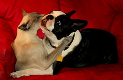 """Yuk...she is kissing me on the lips!"" (SquireRoss) Tags: bostonterrier kissing hugs siamesecats dogsandcats"