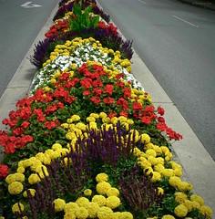Street Garden (the mindful fox) Tags: street flowers flower color colour yellow fleurs jaune cluster flor richmond gelb salvia blomma geranium fiore blomst bloem lill  kwiat  richmondbc  kvt blmen gl