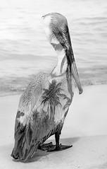 Caribbean Essence (Donna Brittain - Thank you for a million views!) Tags: ocean sea blackandwhite bw bird beach nature water monochrome palms outdoor doubleexposure wildlife cuba pelican varadero