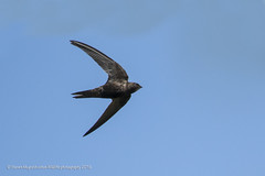 Swift (Steven Mcgrath (Glesgastef)) Tags: common swift bird glasgow scotland flight fast blue sky urban city uk europe