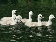 Six Cygnets (alex props) Tags: cygnets riveravon swans