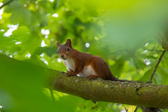 Hiding in a tree (Infomastern) Tags: lund animal squirrel ekorre djur geolocation geocity camera:make=canon exif:make=canon geocountry geostate exif:lens=efs18200mmf3556is exif:aperture=56 exif:isospeed=2000 exif:focallength=187mm camera:model=canoneos760d exif:model=canoneos760d