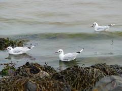 P1030986 (LesD's pics) Tags: birds gulls seabirds